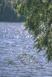 árbol de abedul por el lago - efecto de la película del vintage Imagen de archivo