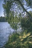 árbol de abedul por el lago - efecto de la película del vintage Imágenes de archivo libres de regalías