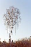Árbol de abedul por la tarde del invierno Foto de archivo libre de regalías