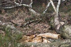Árbol de abedul putrefacto caido Foto de archivo libre de regalías
