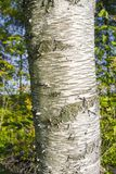 Árbol de abedul que crece en un bosque Imagenes de archivo