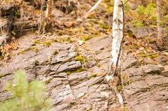 Árbol de abedul que crece a través de rocas del argilite Fotos de archivo