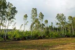 Árbol de abedul quebrado después de una tormenta Foto de archivo libre de regalías