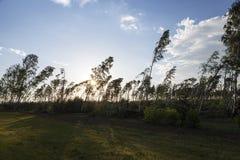 Árbol de abedul quebrado después de una tormenta Fotografía de archivo libre de regalías