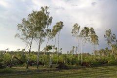 Árbol de abedul quebrado después de una tormenta Fotos de archivo libres de regalías