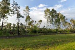 Árbol de abedul quebrado después de una tormenta Fotos de archivo
