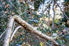 Árbol de abedul quebrado en el parque Fotos de archivo