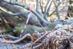 Árbol de abedul quebrado en el parque Fotos de archivo libres de regalías