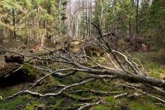 Árbol de abedul quebrado en primavera Imagenes de archivo