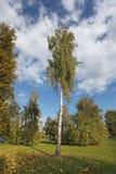 Árbol de abedul Rusia Foto de archivo libre de regalías