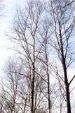 Árbol de abedul sin las hojas Fotos de archivo