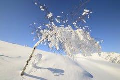 Árbol de abedul sincero Fotografía de archivo libre de regalías