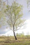 Árbol de abedul solitario Fotografía de archivo