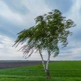 Árbol de abedul solitario en prado durante el viento Fotos de archivo