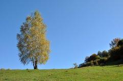 Árbol de abedul solo Foto de archivo libre de regalías