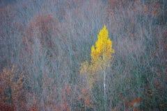 Árbol de abedul solo Fotografía de archivo