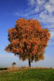Árbol de abedul solo en colores del otoño Imágenes de archivo libres de regalías