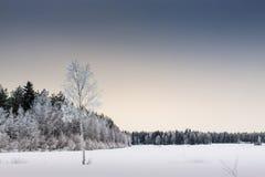 Árbol de abedul solo en The Field Fotografía de archivo libre de regalías
