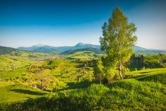 Árbol de abedul solo en una colina Imagen de archivo libre de regalías
