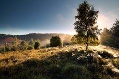 Árbol de abedul, spidernets en la salida del sol brumosa Imágenes de archivo libres de regalías