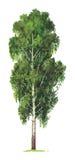 Árbol de abedul. Vector Imagenes de archivo