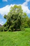 Árbol de abedul verde Foto de archivo