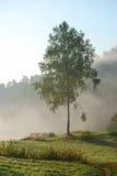Árbol de abedul verde en la niebla de la mañana Fotografía de archivo