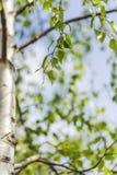 Árbol de abedul verde frondoso Fotografía de archivo libre de regalías