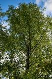 Árbol de abedul verde frondoso Fotografía de archivo