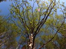 Árbol de abedul vibrante verde en sol del verano Foto de archivo libre de regalías