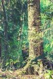 Árbol de abedul viejo Fotos de archivo