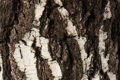 Árbol de abedul viejo de la corteza Fotografía de archivo