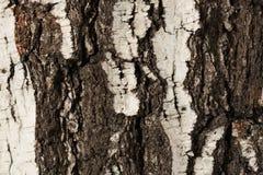 Árbol de abedul viejo de la corteza Imagen de archivo
