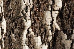 Árbol de abedul viejo de la corteza Fotos de archivo