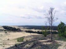 Árbol de abedul viejo en la duna del escupitajo de Curonian Foto de archivo libre de regalías