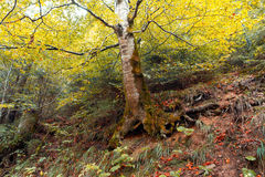 Árbol de abedul viejo en un bosque del otoño Foto de archivo libre de regalías