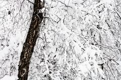 árbol de abedul viejo nevado en bosque nevoso Foto de archivo