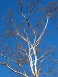 Árbol de abedul y cielo azul Fotos de archivo libres de regalías