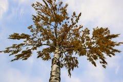 Árbol de abedul y cielo azul claro Foto de archivo libre de regalías