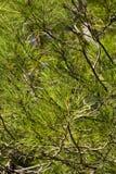 Árbol de abeto Imagen de archivo