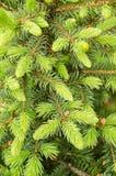 Árbol de abeto Fotografía de archivo libre de regalías