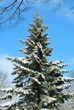 Árbol de abeto alto nevado y cielo azul Fotografía de archivo