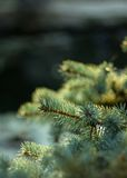 Árbol de abeto azul de la ramificación Imagen de archivo libre de regalías