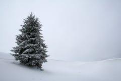 Árbol de abeto blanco Imágenes de archivo libres de regalías