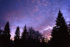 Árbol de abeto con el cielo púrpura Fotos de archivo libres de regalías