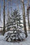 Árbol de abeto con la nieve fresca, rodeada por los árboles de abedul. Fotos de archivo libres de regalías