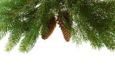 Árbol de abeto con los conos Foto de archivo libre de regalías