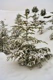 Árbol de abeto cubierto con nieve Foto de archivo libre de regalías