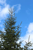 Árbol de abeto de Canaan contra el cielo azul con las nubes Imágenes de archivo libres de regalías