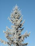 Árbol de abeto de Frosten Fotos de archivo libres de regalías